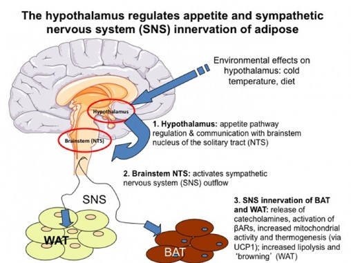 hypothalamus_700x525
