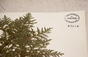 Herbarium photo of specimen